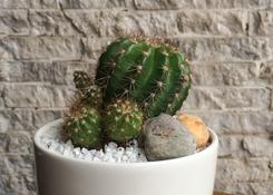 Cactus in Bowl