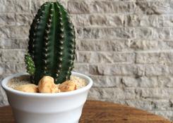 Cactus in Mini Cup