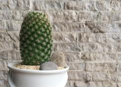 Cactus in Pail