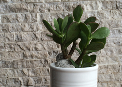 Jade Plant in Can